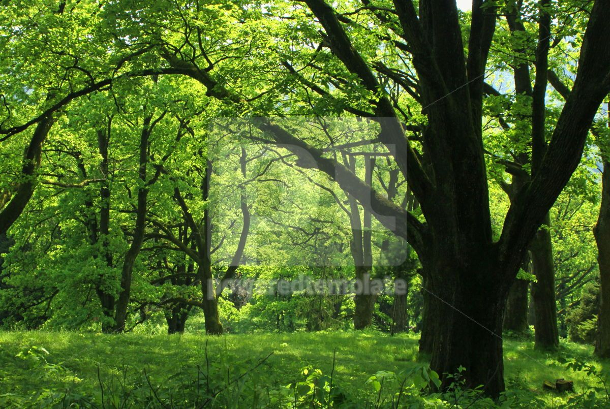 Summer forest with green grass and trees, 07104, Nature — PoweredTemplate.com
