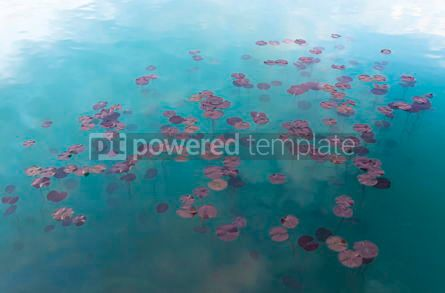 Nature: Watel Lily plants in the water #07115