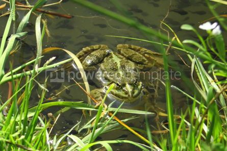 Animals: Big green frog (American Bullfrog) crawling from the water #07393