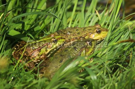 Animals: Tree big green frogs (American Bullfrog) sitting in the grass #07394