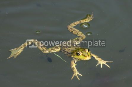 Animals: Big green frog (American Bullfrog) floating on the water #07395