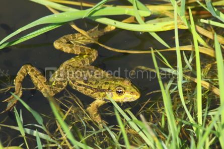 Animals: Big green frog (American Bullfrog) crawling from the water #07396