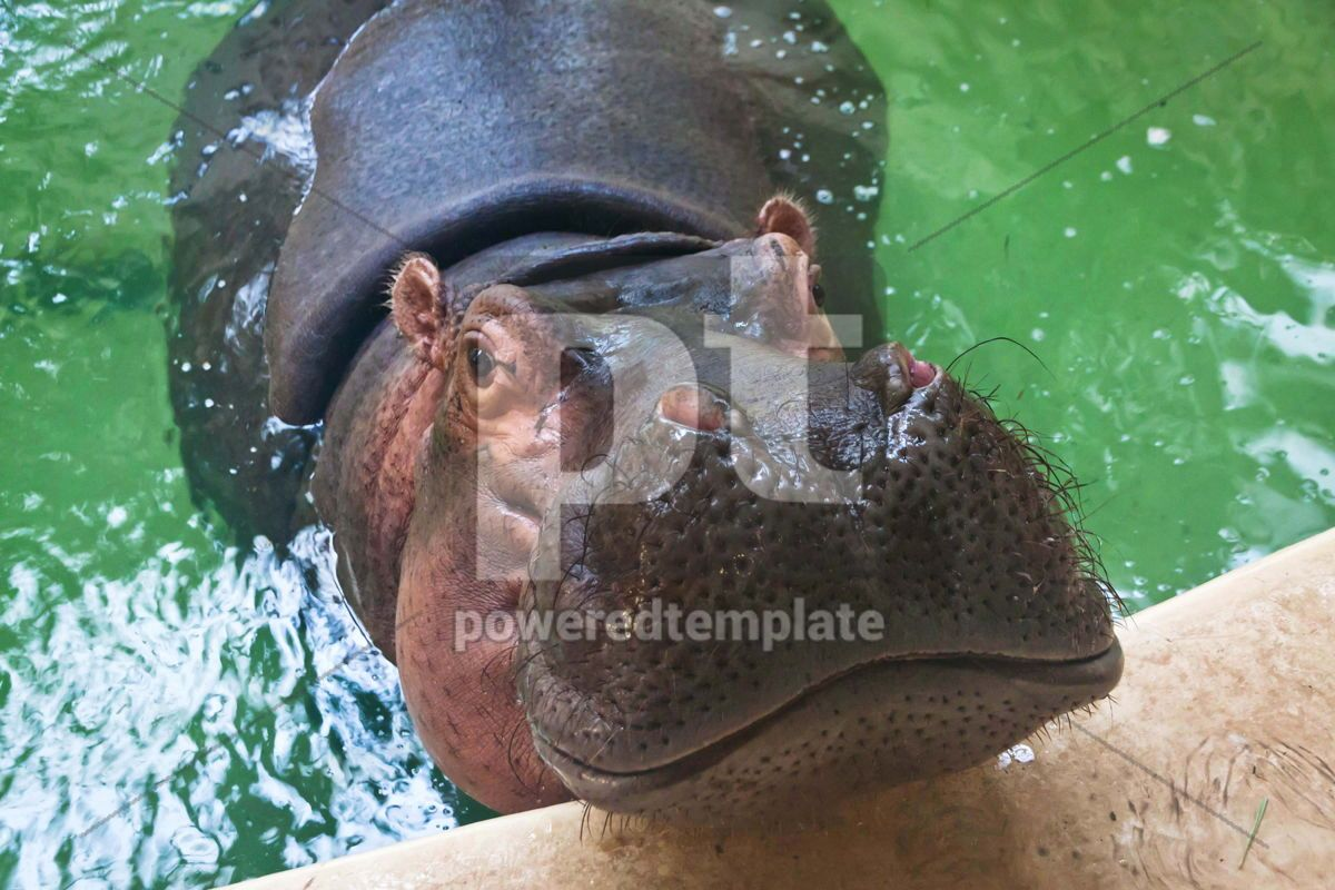 Adult hippo swimming in a pool, 07397, Animals — PoweredTemplate.com