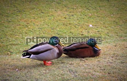 Animals: Two male Mallard Ducks in the park #07398