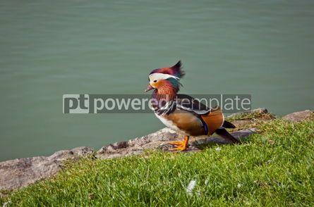 Animals: Beautiful male Mandarin Duck (Aix galericulata) #07399