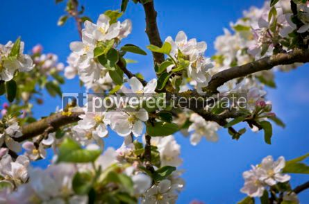 Nature: Apple blooming branches in springtime #07520