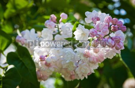 Nature: Close-up branch of white lilac #07522