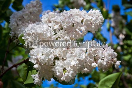 Nature: Close-up branch of white lilac #07524