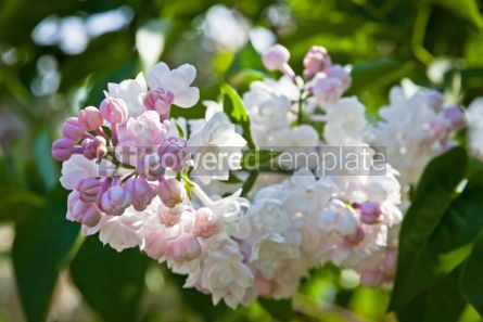 Nature: Close-up branch of white lilac #07525