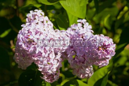 Nature: Close-up branch of violet lilac #07526