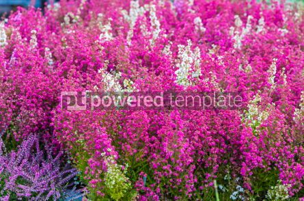 Nature: Pink and purple heather flowers in the garden #07718