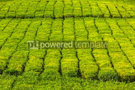 Nature: Tea plantation on Sao Miguel island Azores Portugal #07722