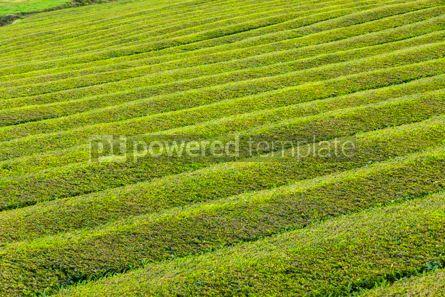 Nature: Tea plantation on Sao Miguel island Azores Portugal #07723