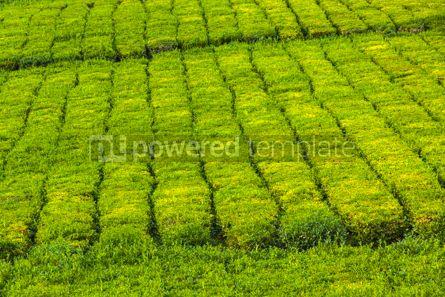 Nature: Tea plantation on Sao Miguel island Azores Portugal #07864