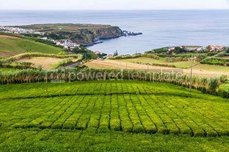 Nature: Tea plantation on Sao Miguel island Azores Portugal #07865