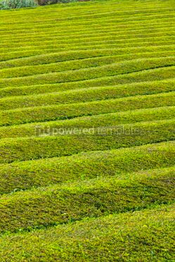 Nature: Pattern of tea plantation on Sao Miguel island Azores Portugal #07866