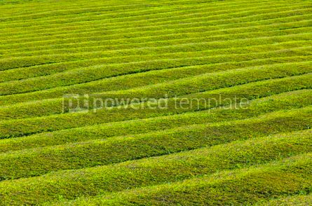 Nature: Pattern of tea plantation on Azores islands Portugal #07867