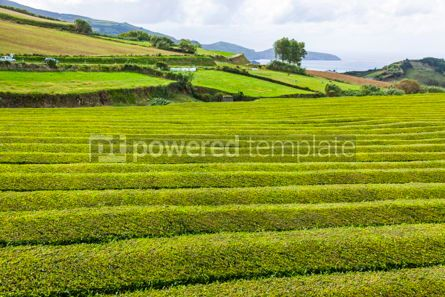Nature: Tea plantation on Sao Miguel island Azores Portugal #07868