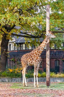 Animals: Reticulated giraffe (Giraffa reticulata) in the Berlin Zoo #09258