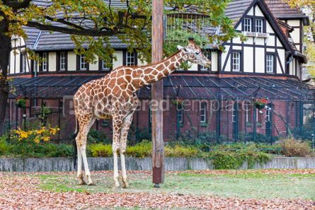 Animals: Reticulated giraffe (Giraffa reticulata) in the Berlin Zoo #09259