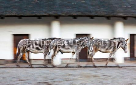 Animals: Three zebras walk on a zoo aviary #09262
