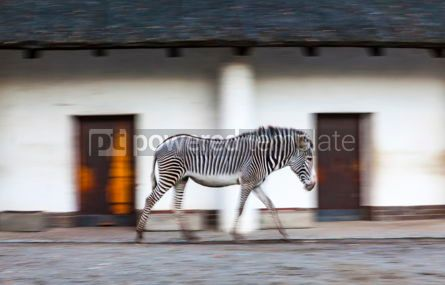 Animals: Zebra walks on a zoo aviary #09263