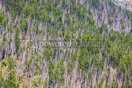 Nature: Aerial view of coniferous forest in High Tatras mountains #09304