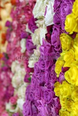 Nature: Beautiful wall made of colourful roses #12348