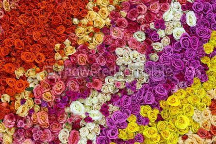 Nature: Beautiful wall made of colourful roses #12349
