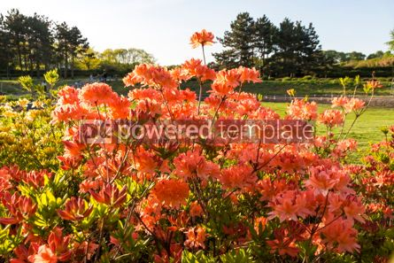 Nature: Pink Azalea flowers (Rhododendron) in the garden #12350