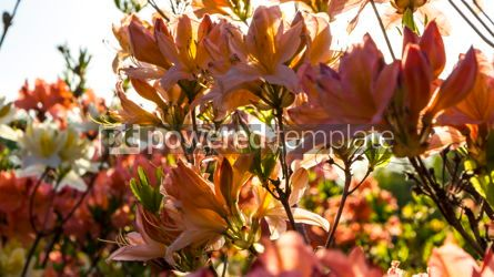 Nature: Pink Azalea flowers (Rhododendron) in the garden #12351