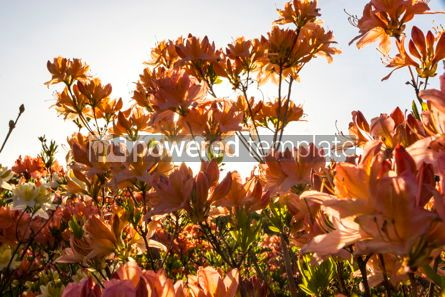 Nature: Pink Azalea flowers (Rhododendron) in the garden #12352