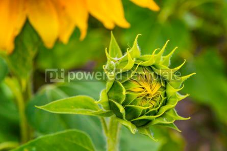 Nature: Close-up details of young fresh sunflower #12498
