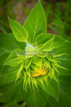 Nature: Close-up details of young fresh sunflower #12500