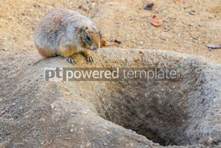 Animals: Black-tailed Prairie Dog Cynomys Ludovicianus in wildlife #12504