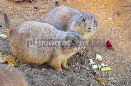 Animals: Black-tailed Prairie Dogs Cynomys Ludovicianus in wildlife #12505