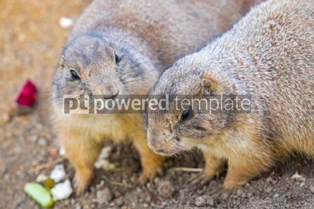 Animals: Black-tailed Prairie Dogs Cynomys Ludovicianus in wildlife #12506