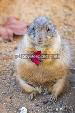 Animals: Black-tailed Prairie Dog Cynomys Ludovicianus in wildlife #12507