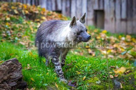 Animals: The brown hyena Hyaena brunnea also called strandwolf #12856