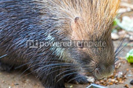 Animals: Indian crested porcupine Hystrix indica #12857
