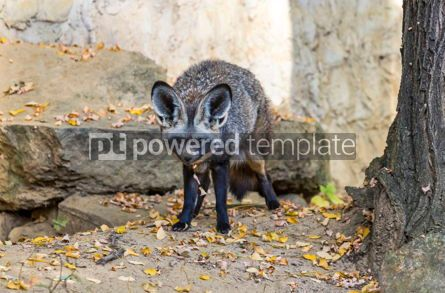 Animals: Bat-eared fox Otocyon megalotis #12862