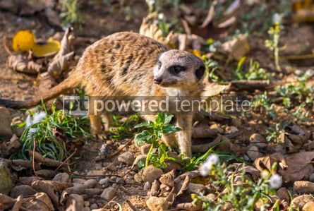 Animals: Portrait of the Meerkat Suricata suricatta or Suricate #12863