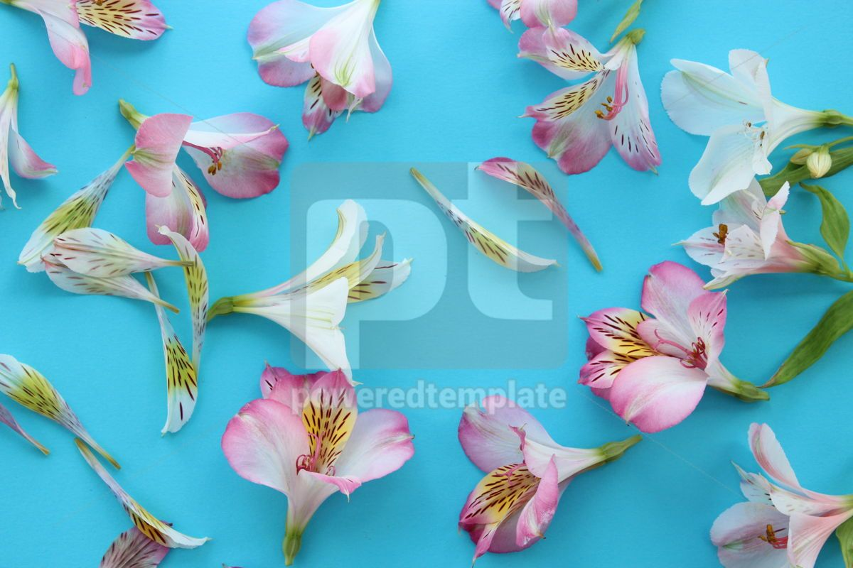 Beautiful pink and white alstroemeria flowers on light azure summer background, 13327, Nature — PoweredTemplate.com