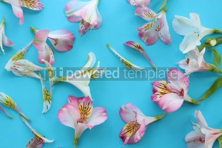 Nature: Beautiful pink and white alstroemeria flowers on light azure summer background #13327