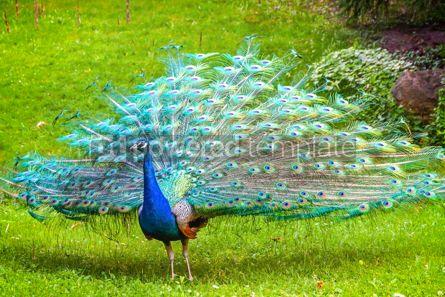 Animals: Indian peafowl Latin Pavo cristatus #15334