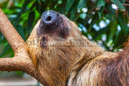 Animals: Cute brown-throated sloth crawling on a tree #15335