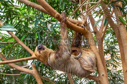 Animals: Cute brown-throated sloth crawling on a tree #15336