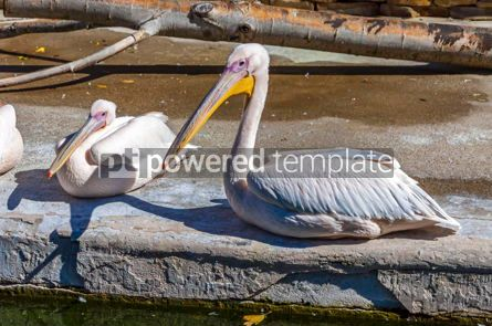 Animals: Family of Great White Pelicans Pelecanus onocrotalus #15337