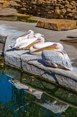 Animals: Family of Great White Pelicans Pelecanus onocrotalus #15338