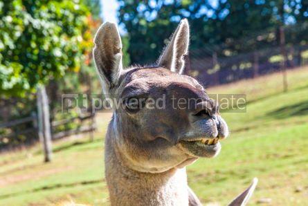 Animals: Close-up portrait of Guanaco Lama guanicoe #15341